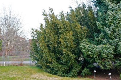 Idegran, Taxus baccata
