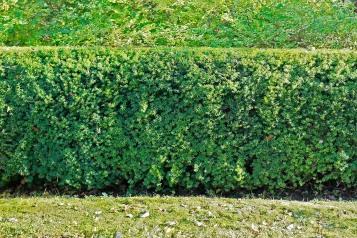Hybrididegran, Taxus x media 'Hillii'