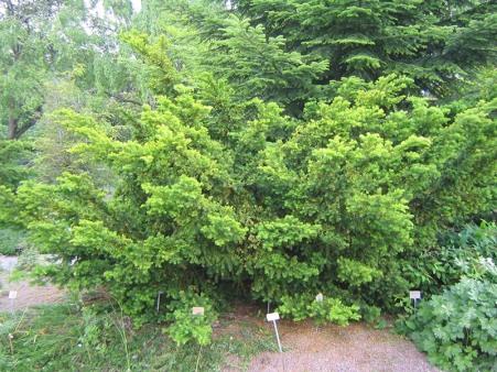 Hybrididegran, Taxus x media 'Thayerae' försommar