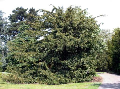 Blåidegran, Taxus baccata var. dovastoniana