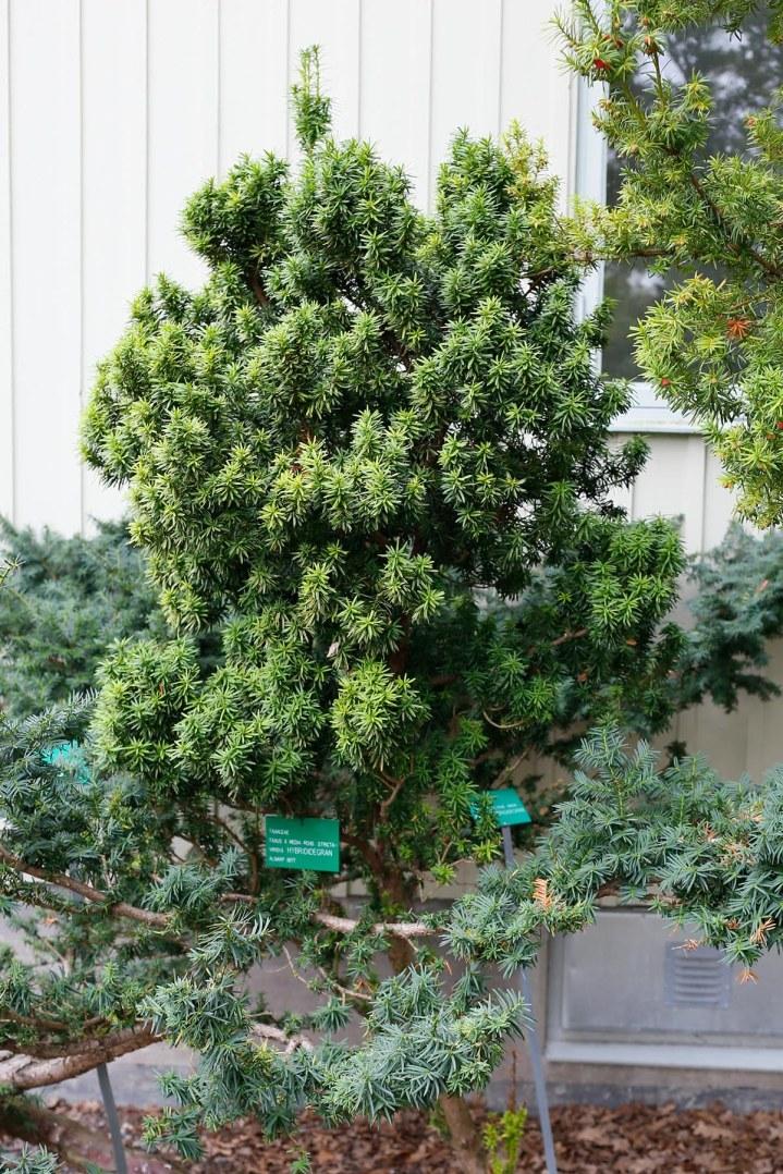 Idegran, Taxus baccata 'Viridis'