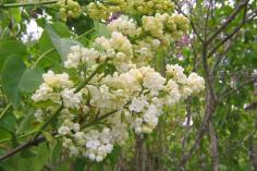 Ädelsyren, Syringa vulgaris 'Madame Florens Stepman'