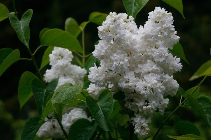 'Madame Lemoine' blomma