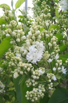 Ädelsyren, Syringa vulgaris 'Madame Lemoine'