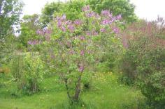 Ädelsyren, Syringa vulgaris 'Michel Buchner'