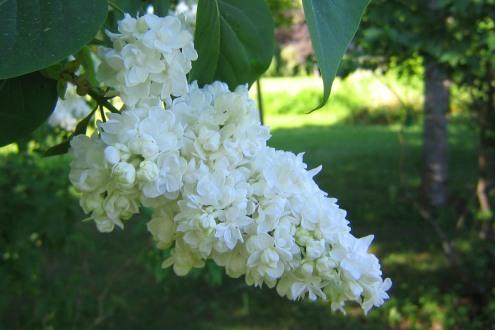 Ädelsyren, Syringa vulgaris 'Miss Ellen Wilmott'