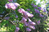 Ädelsyren, Syringa vulgaris 'Mrs Edward Harding'