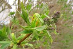 Bladutsprång av bondsyren, Syringa vulgaris