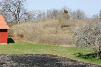 Syrenbuskage som underhålls via regelbunden föryngringsbeskärning.