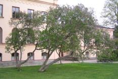 Äldre bondsyrener, Syringa vulgaris