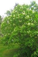 Vit bondsyren, Syringa vulgaris f. alba