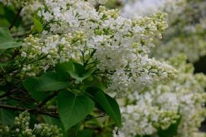 Blommor av vit bondsyren, Syringa vulgaris f. alba