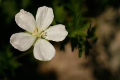 Vitblommig blodnäva, Geranium sanguineum 'Album'