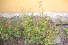Vitblommig blodnäva, Geranium sanguineum 'Album', sensommar
