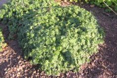 Blodnäva, Geranium sanguineum, försommar