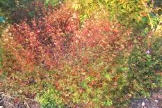 Blodnäva, Geranium sanguineum, sensommar