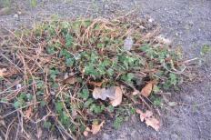 Blodnäva, Geranium sanguineum, vår
