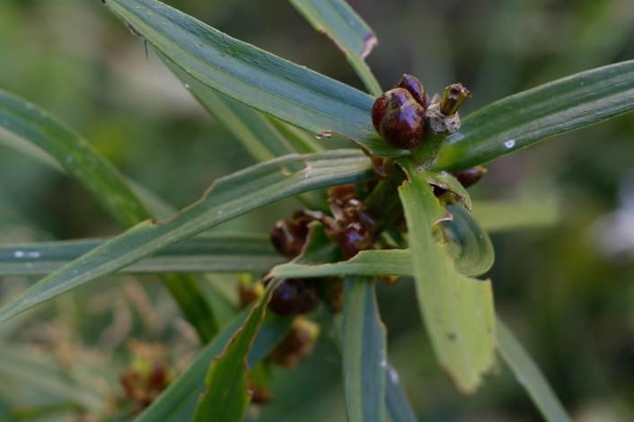 Groddknoppar på brandlilja, Lilium bulbiferum
