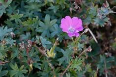 Blodnäva, Geranium sanguineum 'Max Frei'