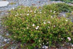 Jungfrunäva, Geranium sanguinem var. striatum, högsommar