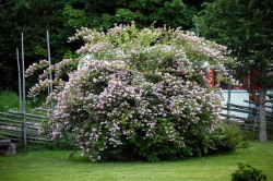 Paradisbuske, Linnea amabilis