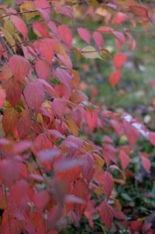 Paradisbuske, Linnaea amabilis, höstfärger