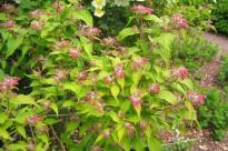 Paradisbuske, Linnaea amabilis, blomknoppar
