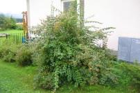 Paradisbuske, Linnaea amabilis, sensommar