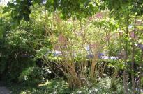 Paradisbuske, Linnaea amabilis, uppstammad