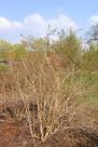 Paradisbuske, Linnaea amabilis, vår