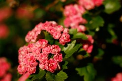 Rosenhagtorn, Crataegus x media 'Paul's Scarlet'