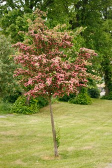 Rosenhagtorn, Crataegus x media 'Paul's Scarlet', ungträd