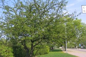 Rosenhagtorn, Crataegus x media 'Pauls's Scarlet', vår
