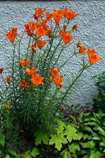 Saffranslilja, Lilium bulbiferum ssp. croceum