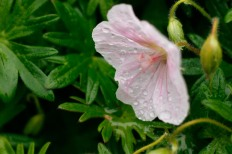 Jungfrunäva, Geranium sanguineum ssp. striatum