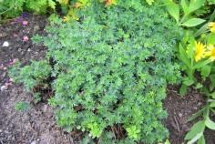 Jungfrunäva, Geranium sanguineum var. striatum, försommar