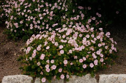 Jungfrunäva, Geraniium sanguineum ssp. striatum