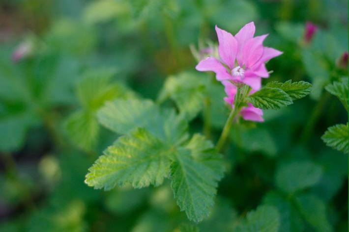 Allåkerbär blomma