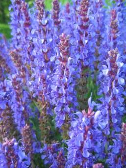 Skogssalvia, Salvia x sylvestris 'Blauhügel'