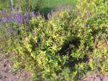 Skogssalvia, Salvia x sylvestris 'Blauhügel', högsommar. Det är dags att klippa ner den här plantan.