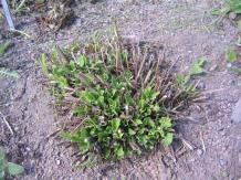 Skogssalvia, Salvia x sylvestris 'Blauhügel', vår