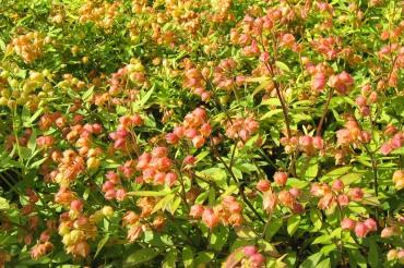 Blågull, Polemonium caeruleum, fröställningar