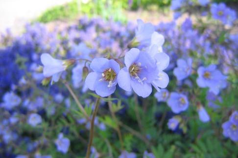 Blågull, Polemonium caeruleum