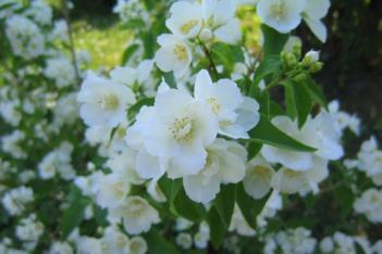 'Bouquet Blanc' blommor