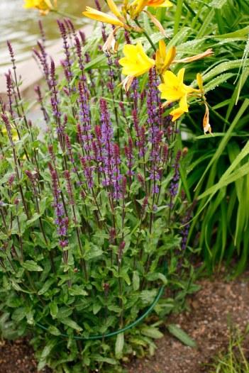 Salvia nemorosa 'Caradonna' i knopp