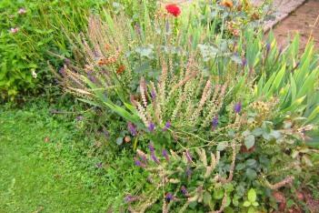 Stäppsalvia, Salvia nemorosa 'Ostfriesland', sensommar
