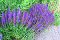 Grundform av stäppsalvia, Salvia nemorosa