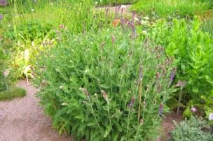 Skogssalvia, Salvia x sylvestris, försommar