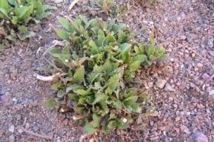 Skogssalvia, Salvia x sylvestris, tidig vår