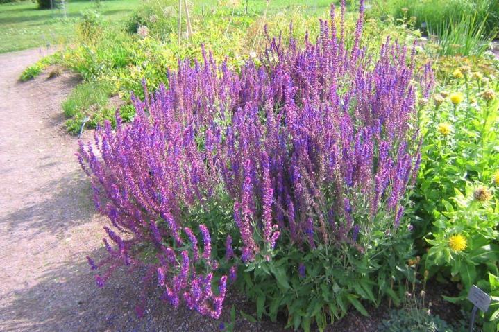 Skogssalvia, Salvia x sylvestris